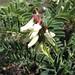 Astragalus lusitanicus (Paul Harmes)