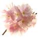 Blossom by brianrosshaslam