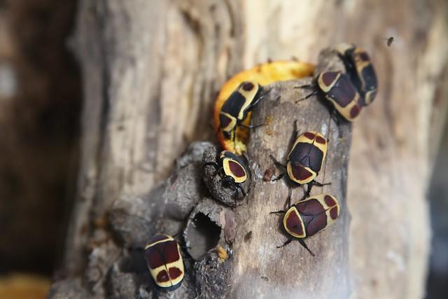 Pachnoda (Sun Beetles) 5540697088_8ae3b696c4_z