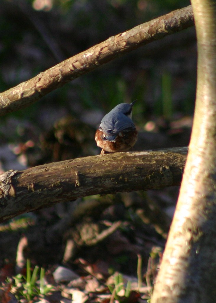 Nuthatch behind
