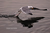 gull-fishing-reflection.jpg