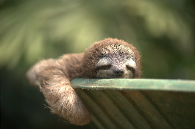 itty bitty baby sloth