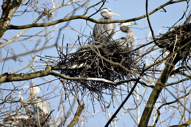 Herons // click image to enlarge