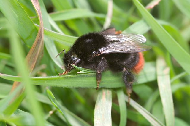 173: Red-tailed Bumblebee