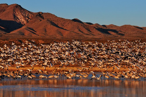 light mountain newmexico bird water sunrise pond goose waterfowl snowgeese bosquedeapachenationalwildliferefuge