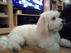 bichon frisã©(0.0), toy poodle(1.0), miniature poodle(1.0), dog breed(1.0), animal(1.0), dog(1.0), cavachon(1.0), schnoodle(1.0), pet(1.0), coton de tulear(1.0), lã¶wchen(1.0), polish lowland sheepdog(1.0), poodle crossbreed(1.0), havanese(1.0), bichon(1.0), dandie dinmont terrier(1.0), bolognese(1.0), carnivoran(1.0),