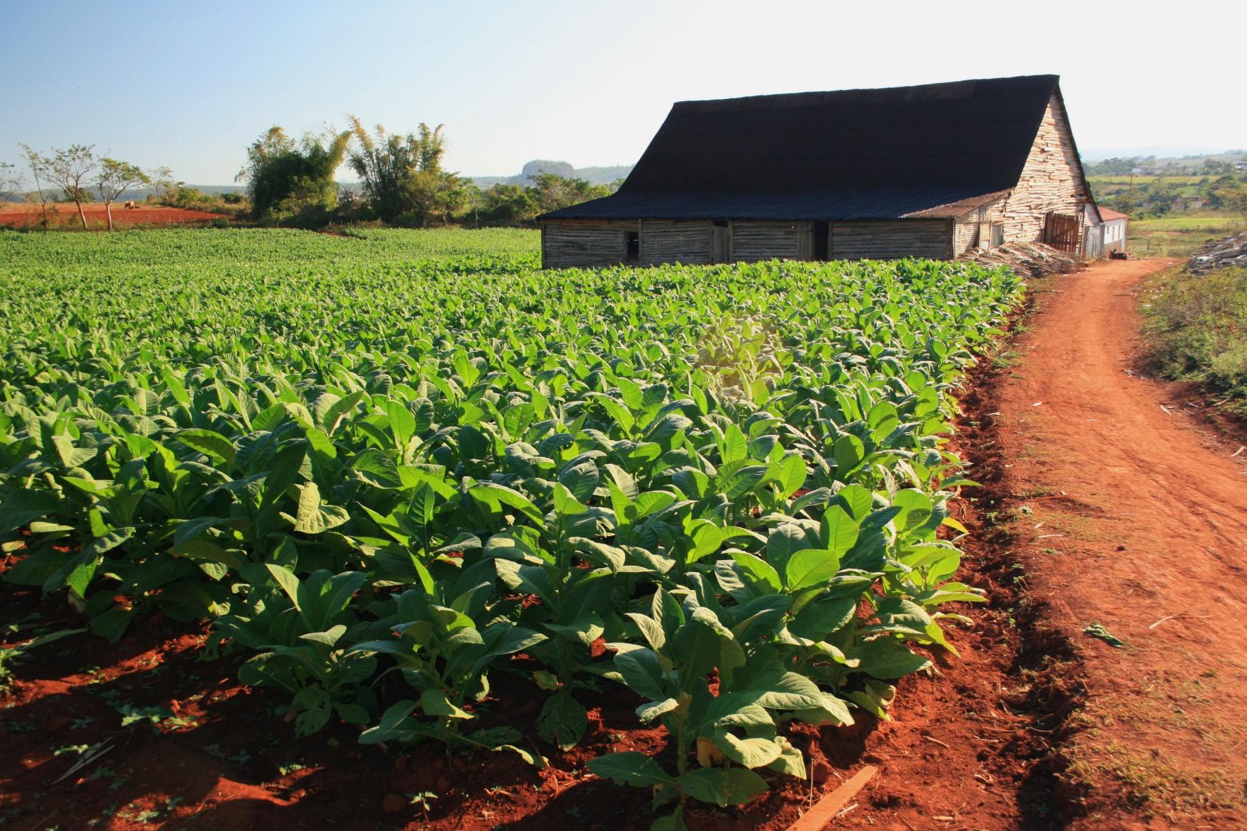 Tobacco Plantations To...