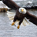 Bald Eagle Intensity