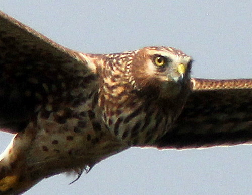 Northern Harrier close 20110220