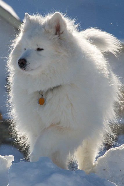 My big white fuzzy dog Bear   Flickr - Photo Sharing!