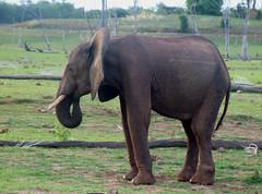 grazing(0.0), mahout(0.0), animal(1.0), indian elephant(1.0), elephant(1.0), elephants and mammoths(1.0), african elephant(1.0), fauna(1.0), pasture(1.0), savanna(1.0), safari(1.0), wildlife(1.0),