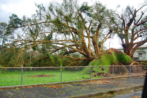 school yard tree - straight after Yasi