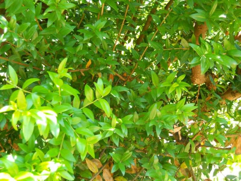 Myrtus communis 'Leucocarpa' 2