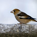 Hawfinch (Torbjorn Arvidsson)