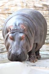 Hippopotamus - 05