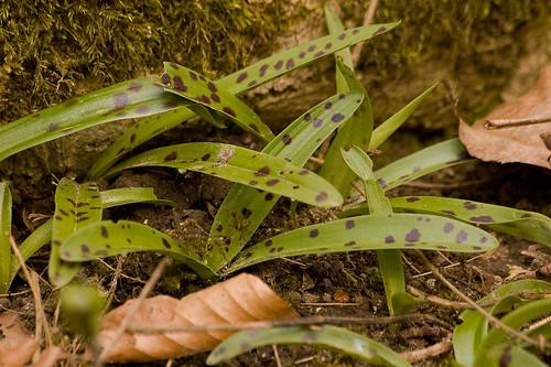 Mannetjesorchis heeft als enige van de onderstaande Zuid-Limburgse soorten vlekken op het blad (foto: Mark Meijrink)
