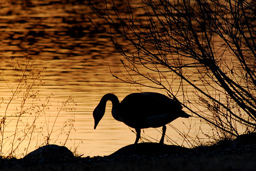 sunset usa birds animal backlight michigan annarbor goose nikond60
