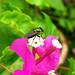 Small photo of Langau pun suka bunga