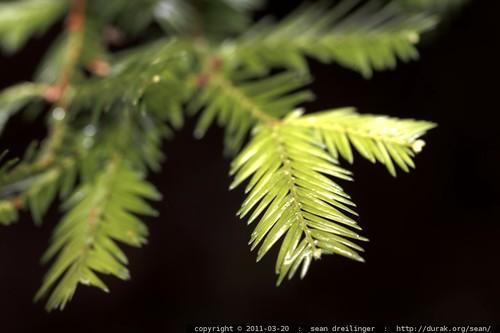 sequoia sempervirens leaves