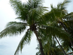 Borneo Palm