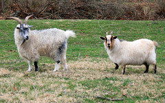 animal, grass, sheeps, sheep, mammal, goats, domestic goat, fauna, mountain goat, meadow, pasture,