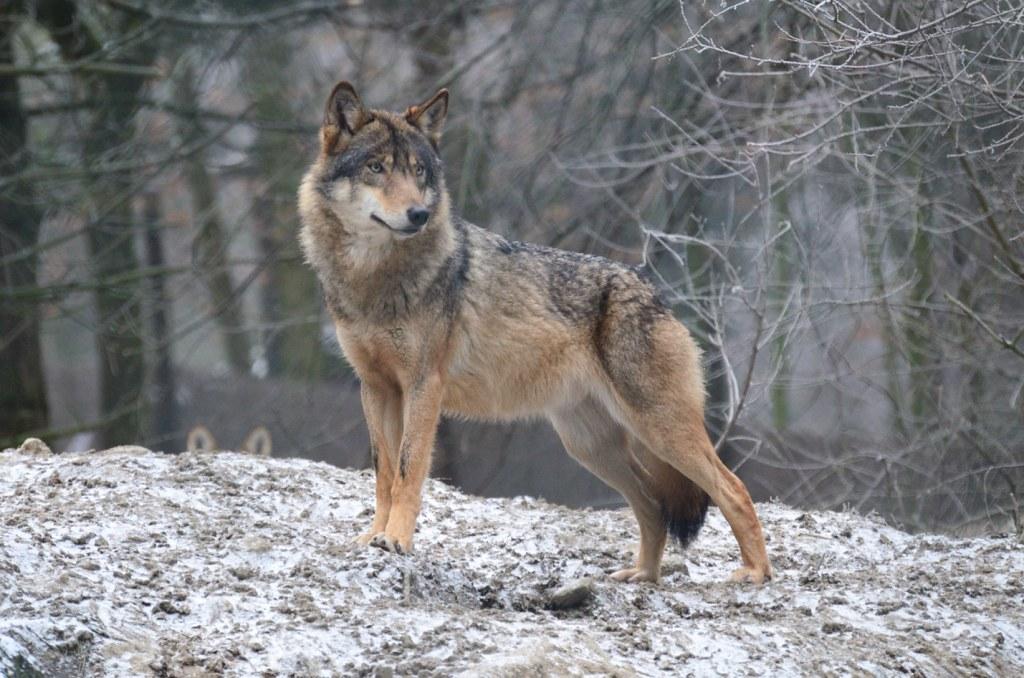 Серый, или обыкновенный волк