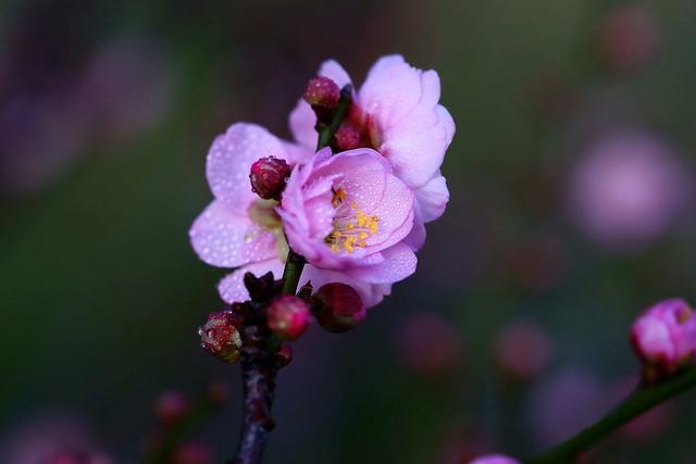 梅開雙十 - Plum Blossoms - Taichung City municipal Shuang-Shih Junior High School