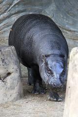 Pygmy Hippopotamus - 04