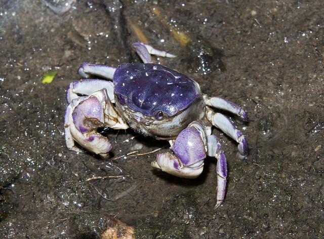 Mound crab (Sarmatium germaini)