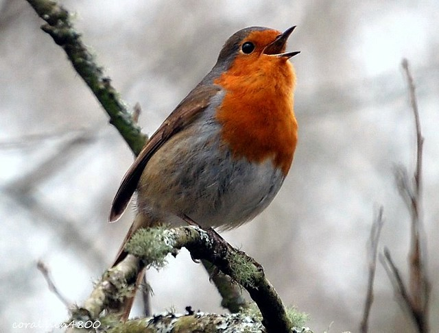 sing little bird sing your song [[robin]] - a photo on ...