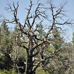 Dead tree in Cuyamaca Rancho State Park