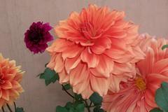 asterales(0.0), gerbera(0.0), annual plant(1.0), dahlia(1.0), flower(1.0), pink(1.0), petal(1.0),