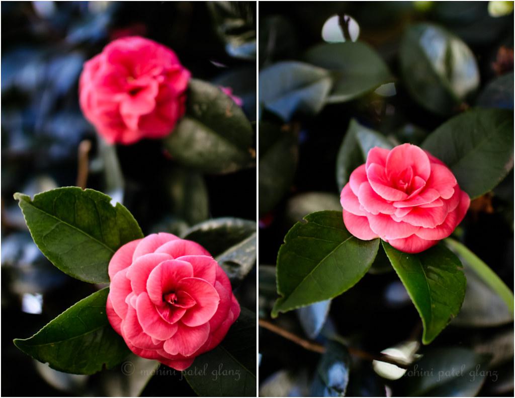 backyard camellia - 3
