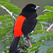 Passerini's Tanager - Photo (c) Jerry Oldenettel, some rights reserved (CC BY-NC-SA)