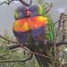 Rainbow Lorikeets (Janine Duffy)