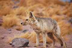 animal, red wolf, mammal, jackal, grey fox, fauna, red fox, kit fox, coyote, wildlife,