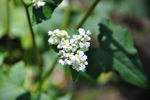 Buckwheat flowers in our garden | by Chris_Samuel
