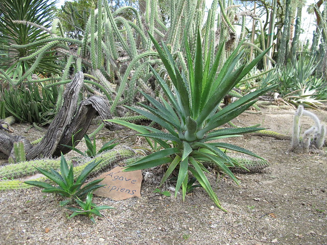 Header of Agave decipiens