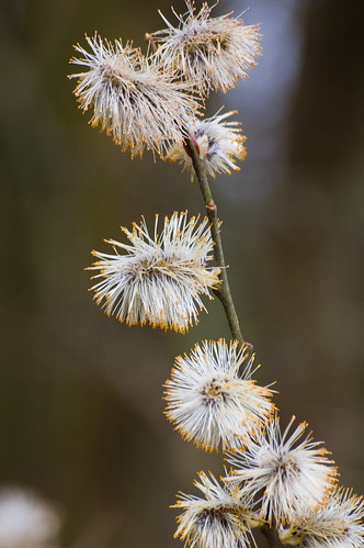 Fluffed out pussy willow catkins