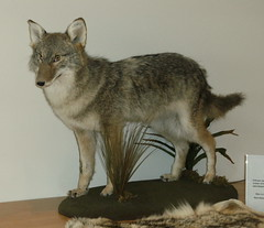czechoslovakian wolfdog(0.0), red wolf(0.0), grey fox(0.0), saarloos wolfdog(0.0), wild cat(0.0), animal(1.0), gray wolf(1.0), mammal(1.0), jackal(1.0), fauna(1.0), wolfdog(1.0), coyote(1.0),