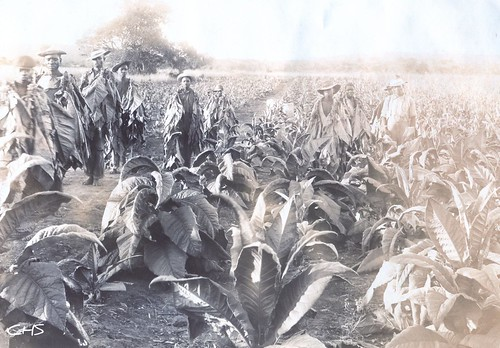 Rhodesia 1905  Tobacco Field by Claire Stocker (Stocker Images)