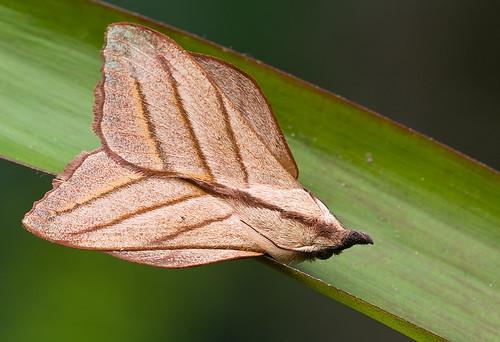 <i>Arguda sp</i>. (Lassiocampidae). IMG_9248 copy
