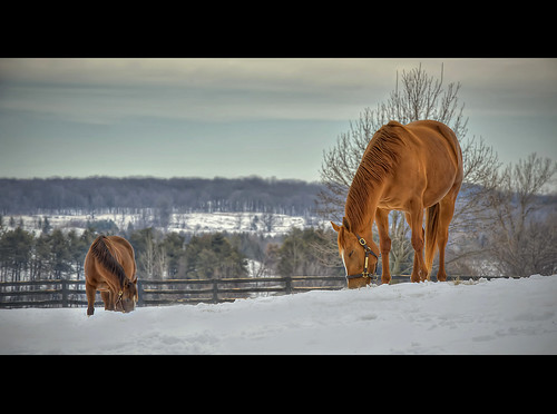 winter horse snow cinema ontario canada color nature vintage landscape nikon cross farm processing nik nikkor cinematography cinematic hdr grazing graze 70200mm caledon 70200mmf28 efex d700