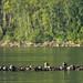 Raft of Sea Otters (Paul Marshall)