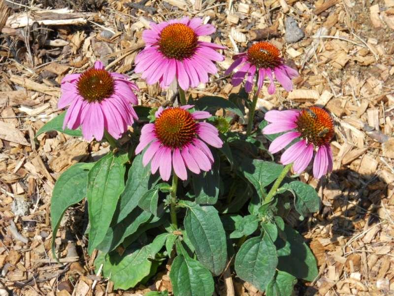 Echinacea purpurea 1