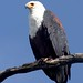 African Fish Eagle (Julia Casson)