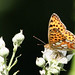 Queen of Spain Fritillary (Tony Mainwood)