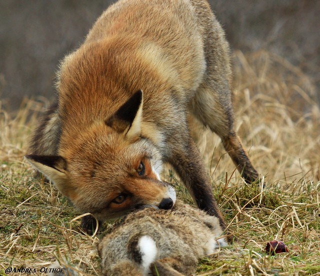 Red fox eating rabbit - photo#7