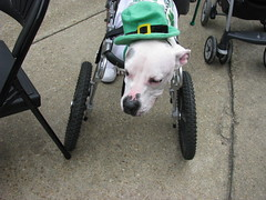 animal(1.0), pit bull(1.0), dog(1.0), pet(1.0), mammal(1.0), american pit bull terrier(1.0), terrier(1.0),