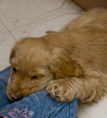 puppy(0.0), english cocker spaniel(0.0), dog breed(1.0), animal(1.0), dog(1.0), pet(1.0), spaniel(1.0), cockapoo(1.0), goldendoodle(1.0), golden retriever(1.0), american cocker spaniel(1.0), carnivoran(1.0),